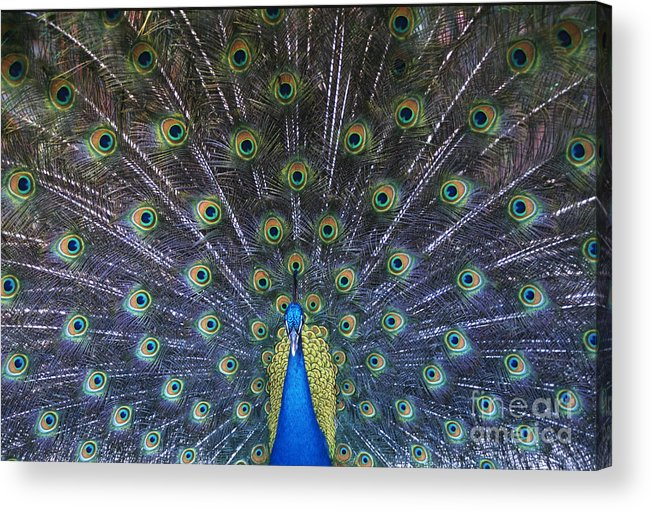 Birds Acrylic Print featuring the photograph Showoff by Sandra Bronstein