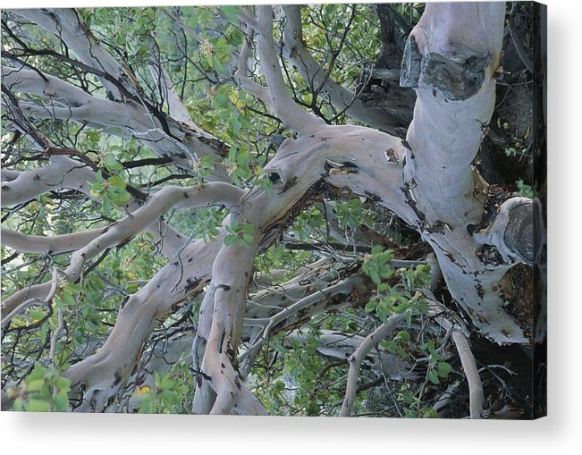 Plants Acrylic Print featuring the photograph Texas Madrone Tree Limbs by Michael Melford