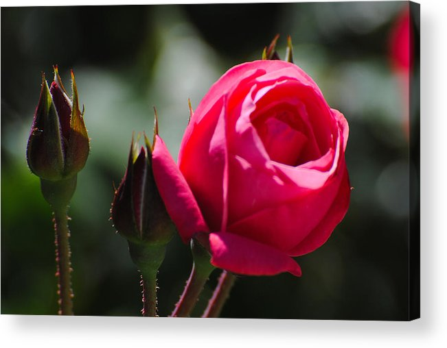 Flowers Acrylic Print featuring the photograph The Rose by John Blanchard