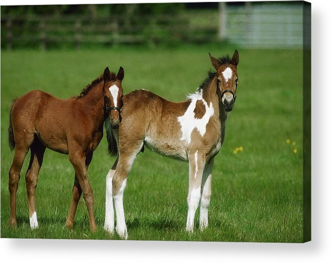 Color Image Acrylic Print featuring the photograph Thoroughbred Foal And Half-breed by The Irish Image Collection