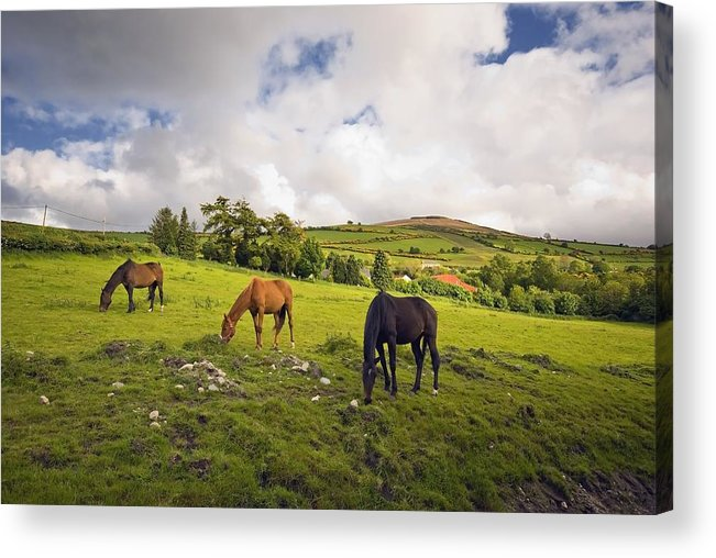 Grazing Acrylic Print featuring the photograph Three Horses Grazing In Field by Millan Knapik