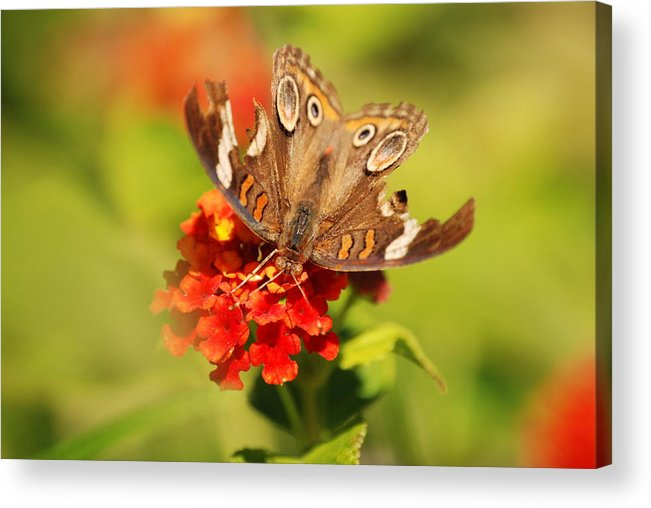 Butterfly Acrylic Print featuring the photograph Torn Wings Full Of Life by Kathy Gibbons
