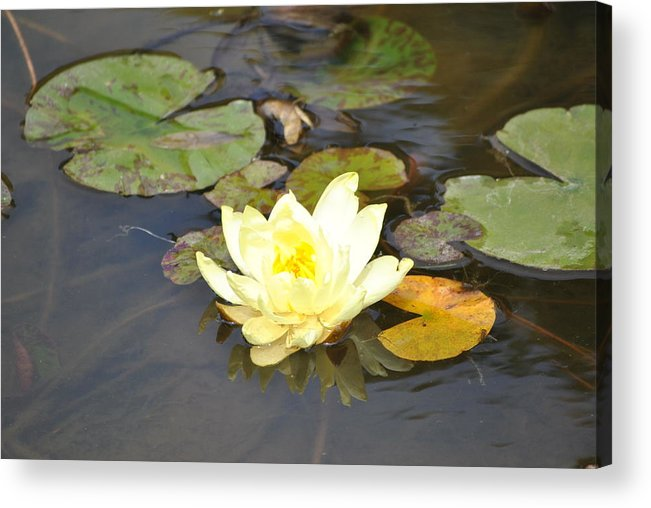 Golden Gate Park Acrylic Print featuring the photograph Water Lilly by Nimmi Solomon