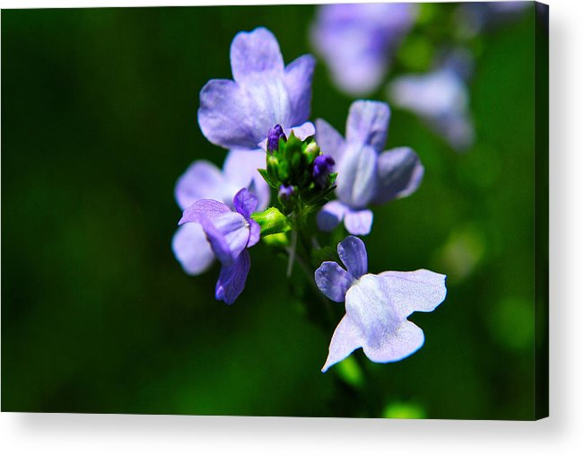 Flowers Acrylic Print featuring the photograph Wild Flower by John Blanchard