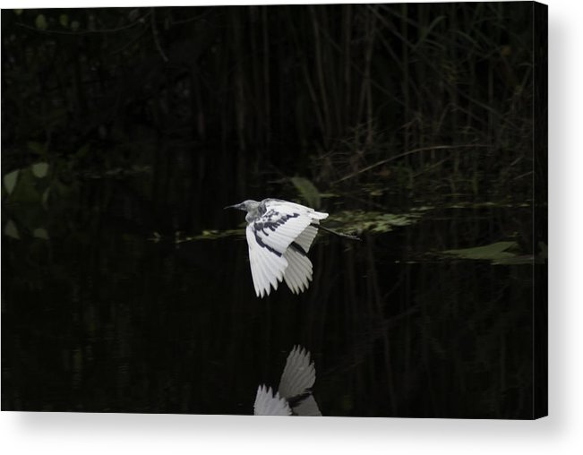 Young Little Blue Heron On The Loxahatchee River Acrylic Print featuring the photograph Young Little Blue Heron On The Loxahatchee River by Robert Valentine