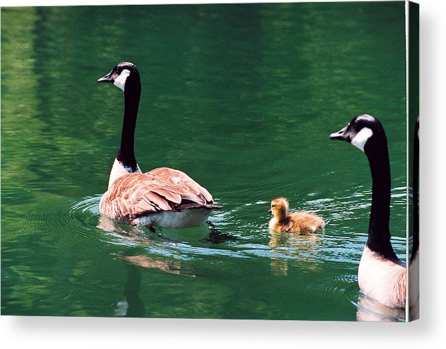 Goose Acrylic Print featuring the photograph Geese Family by Paul Trunk