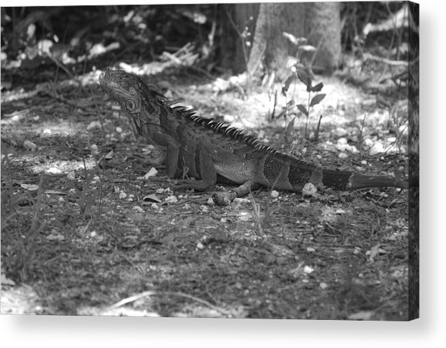Black And White Acrylic Print featuring the photograph I Iguana by Rob Hans
