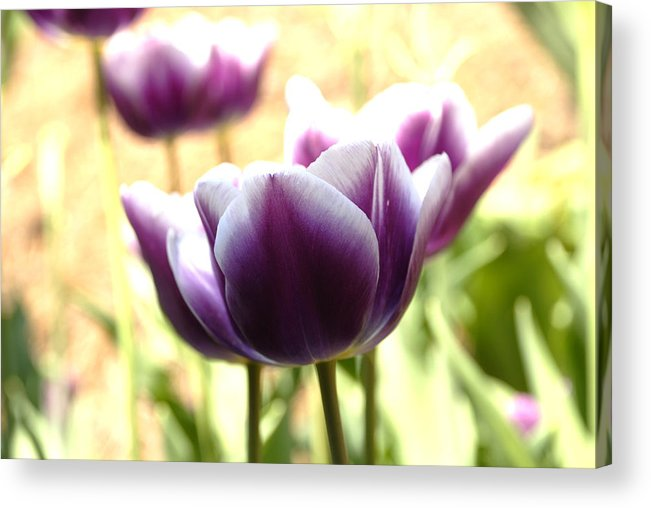 Tulips Acrylic Print featuring the photograph Tulips by Jessica Wakefield
