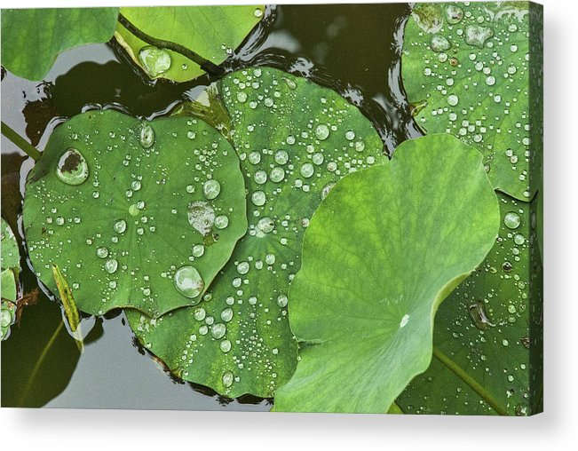Asia Acrylic Print featuring the photograph 4634- Lilypad by David Lange