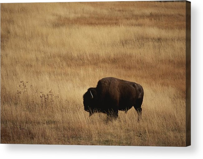 Bison Bison Acrylic Print featuring the photograph An American Bision In Golden Grassland by Michael Melford