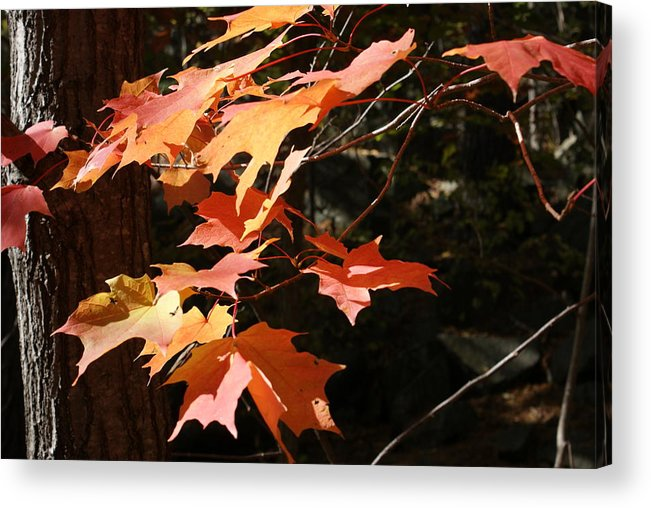 Leaves Acrylic Print featuring the photograph Autumn Leaves by Ron Read