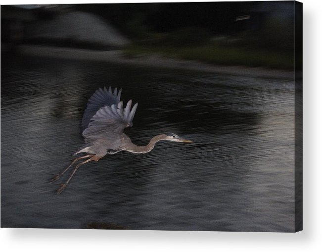 Bird Acrylic Print featuring the photograph Big Blue Heron In Flight-debbie-may by Debbie May