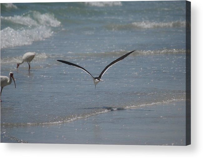 Bird Acrylic Print featuring the photograph Bird Flying In The Surf 2 by Lisa Gabrius