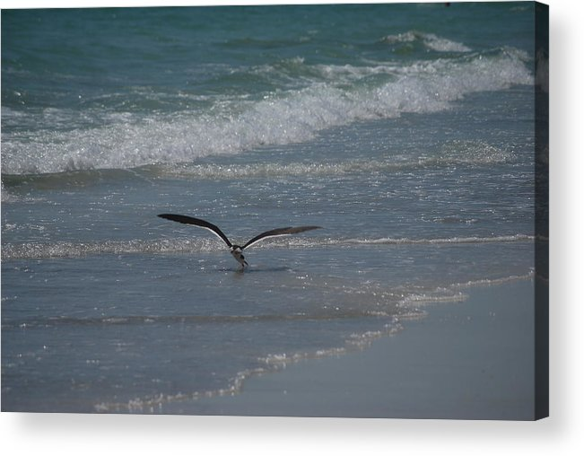 Birds Acrylic Print featuring the photograph Bird Flying In The Surf by Lisa Gabrius