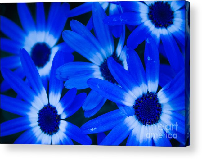 Blue Eye Flower Acrylic Print featuring the photograph Blue Daisies, Medford Oregon by Tirza Roring