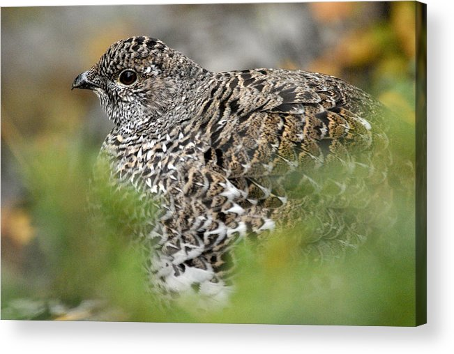Blue Grouse Acrylic Print featuring the photograph Blue Grouse Hen 1 by Larry Ricker