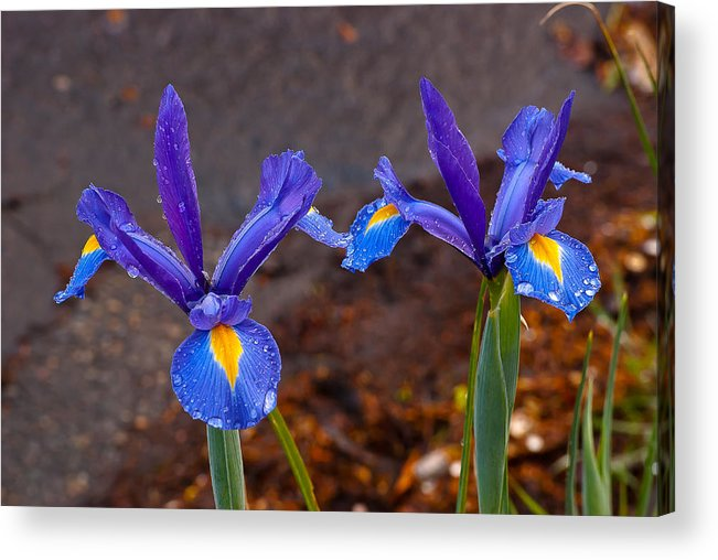 Blue Acrylic Print featuring the photograph Blue Iris Germanica by Emerald Studio Photography