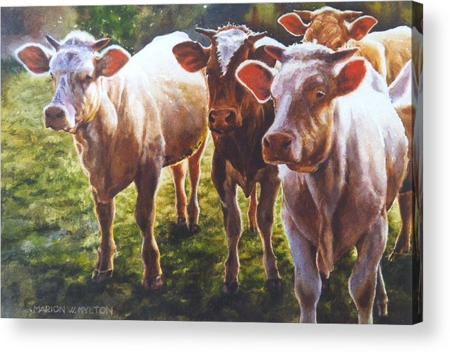 Animals Acrylic Print featuring the painting Bovine Curiosity by Marion Hylton