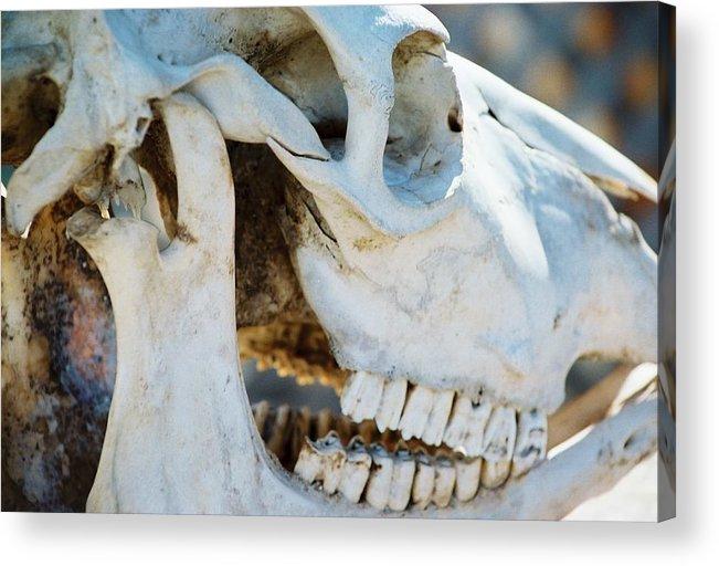 Skull Acrylic Print featuring the photograph Bovinic Purpose by Jennifer Trone
