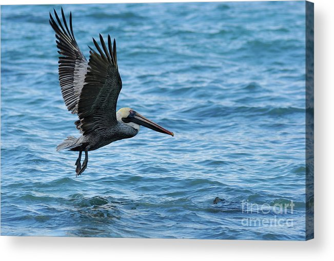Feather Acrylic Print featuring the photograph Brown Pelican In Flight Over Water by Sami Sarkis