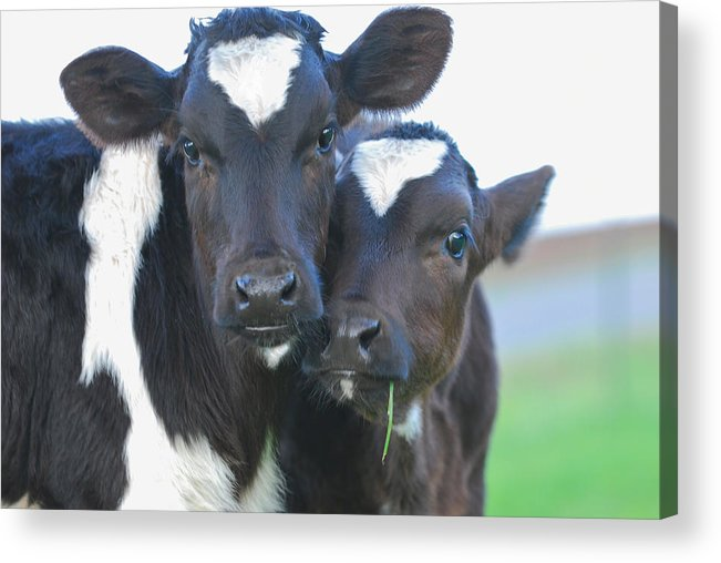 Cow Acrylic Print featuring the photograph Buddies by Michael Bartlett