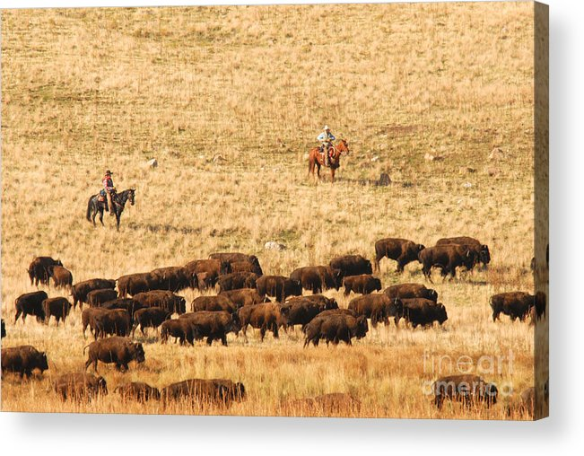 Utah Acrylic Print featuring the photograph Buffalo Roundup by Dennis Hammer