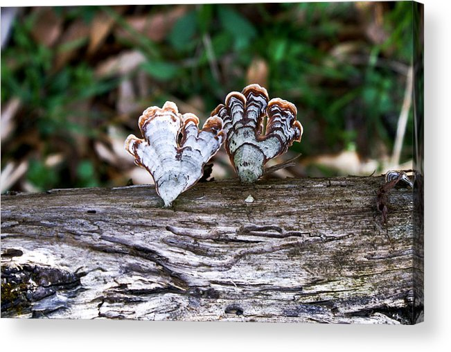Colorful Acrylic Print featuring the photograph Colorful Bracket Fungi by Douglas Barnett