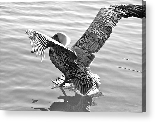 Pelican Acrylic Print featuring the photograph Coming In... by Bonnes Eyes Fine Art Photography