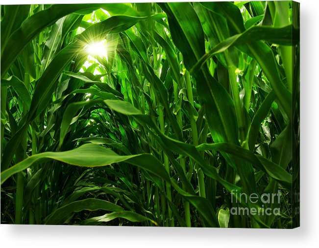 Agriculture Acrylic Print featuring the photograph Corn Field by Carlos Caetano