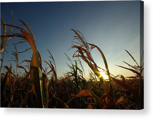 Corn Acrylic Print featuring the photograph Corn Field In Sunset by Andrej Hruby