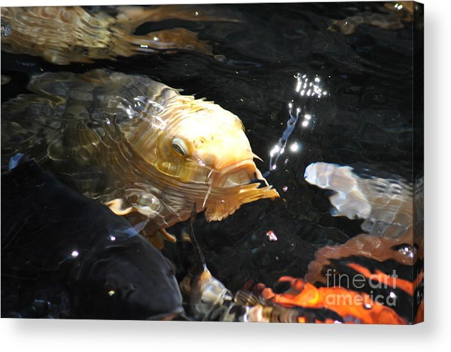 Fish Acrylic Print featuring the photograph Coy Koi by Frank Larkin