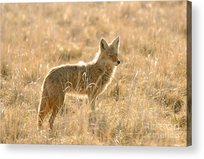 Coyote Acrylic Print featuring the photograph Coyote At Dawn by Dennis Hammer