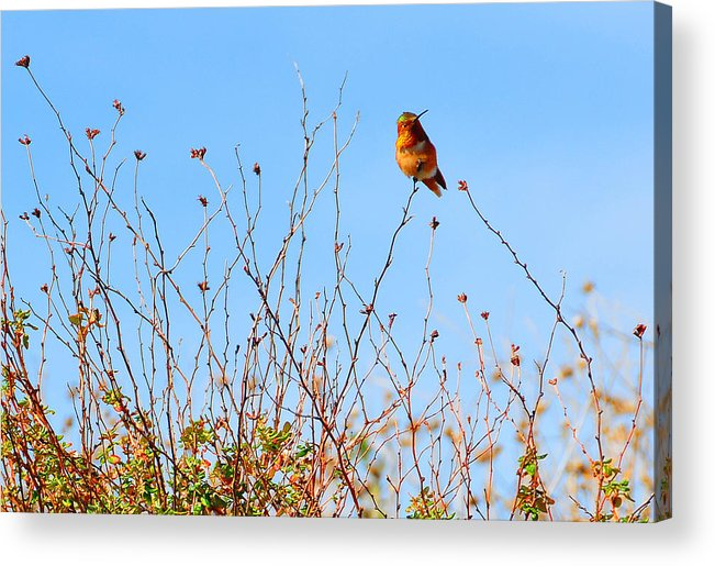 Hummer Acrylic Print featuring the photograph Curious by Lynn Bauer