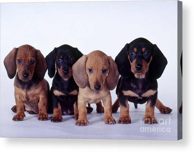 Fauna Acrylic Print featuring the photograph Dachshund Puppies by Carolyn McKeone and Photo Researchers