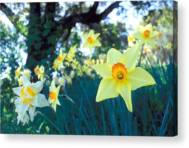 Daffodils Acrylic Print featuring the photograph Daffodils And The Oak 2 by Kathy Yates