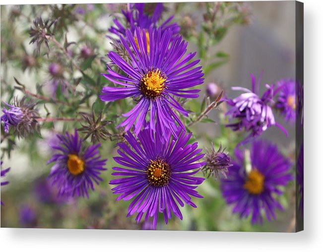 Daisey Acrylic Print featuring the painting Daisey May by Debbie May
