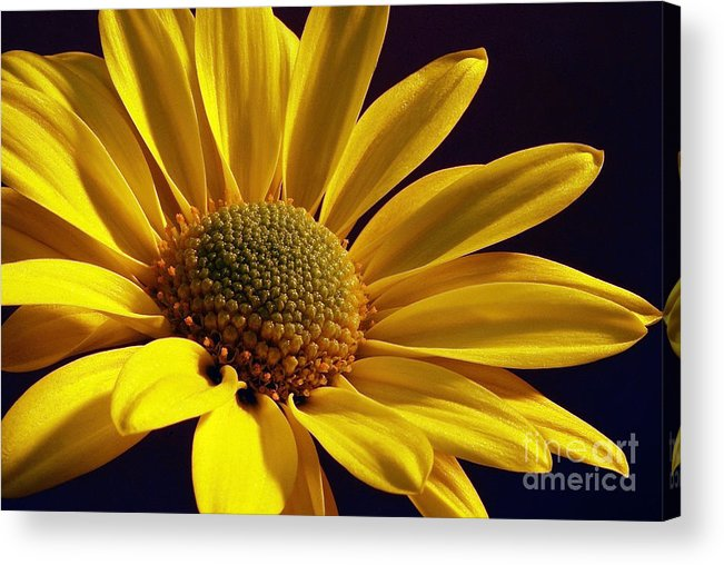Flower Acrylic Print featuring the photograph Daisy by Lois Bryan