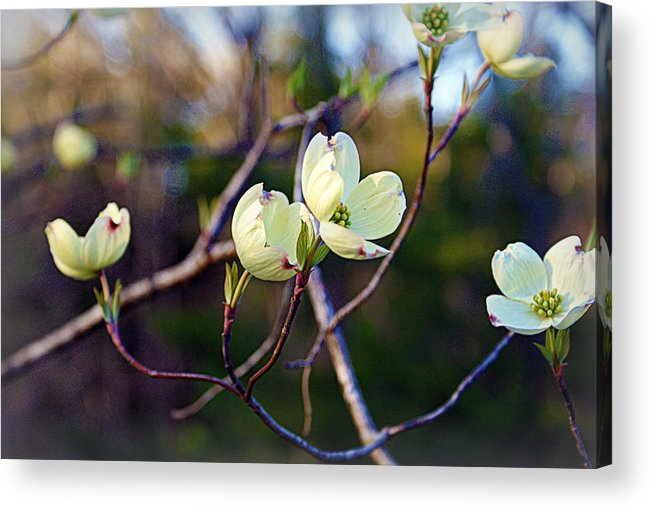 Dogwood Acrylic Print featuring the photograph Dancing Dogwood Blooms by Cricket Hackmann