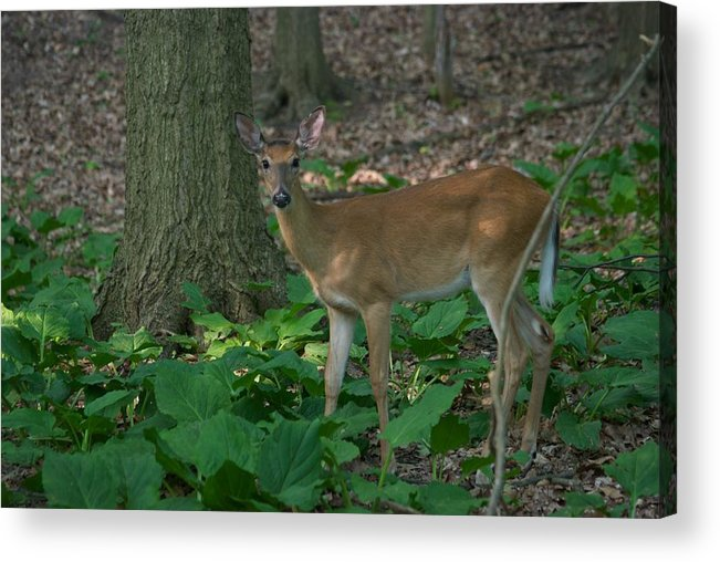 Animal Acrylic Print featuring the photograph Deer 7414 by Michael Peychich