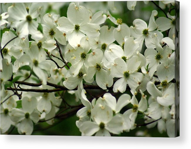 Dogwood Acrylic Print featuring the photograph Dogwoods by Marty Koch