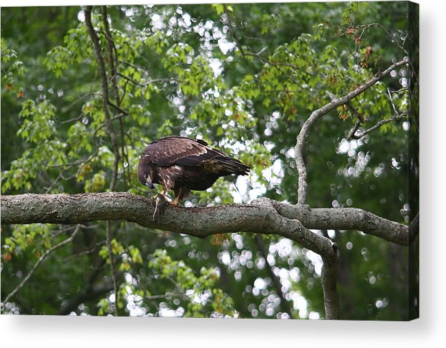 Eagle Acrylic Print featuring the photograph Eagle Eating A Fish by James Jones
