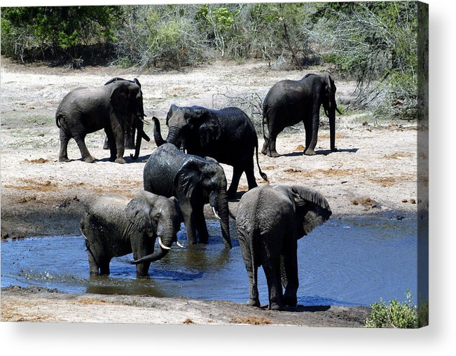 Elephants Acrylic Print featuring the photograph Elephant Pool by Charles Ridgway