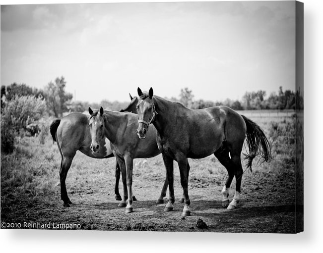 Horse Acrylic Print featuring the photograph Equine Too. by Reinhard Lampano