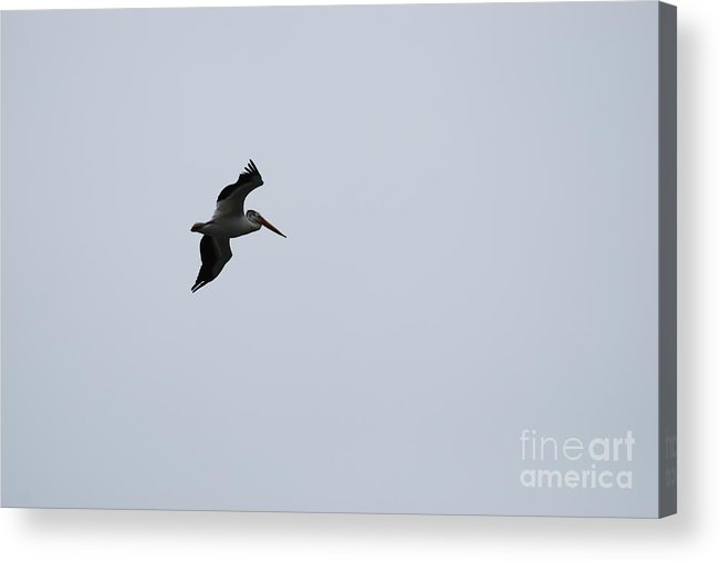 Pelican Acrylic Print featuring the photograph Flight Of The Pelican by StudioBoldt  Photography