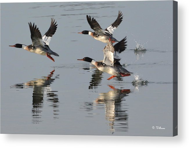 Red Breasted Merganser Acrylic Print featuring the photograph Flight Of Three by Dan Williams