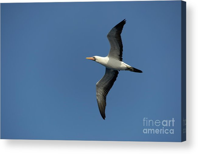 Motion Acrylic Print featuring the photograph Flying Masked Booby In Flight by Sami Sarkis