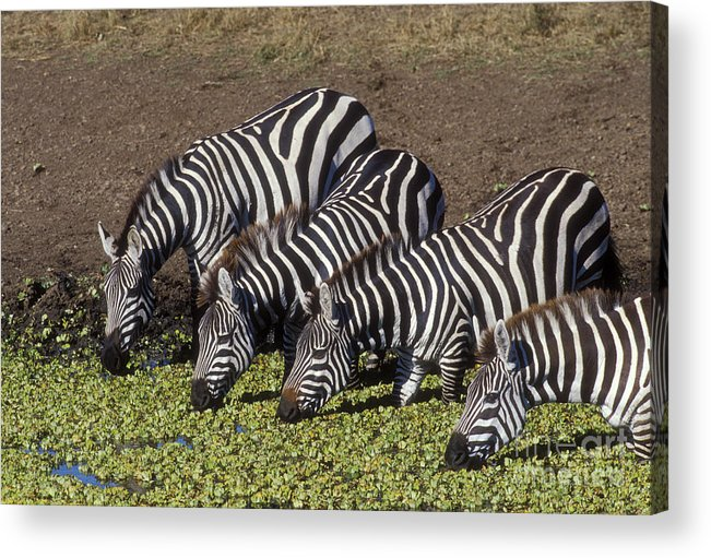 Zebra Acrylic Print featuring the photograph Four For Lunch - Zebras by Sandra Bronstein