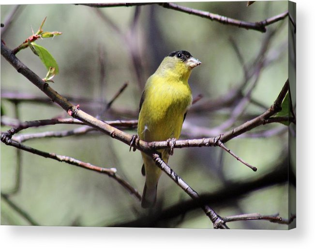 Bird Acrylic Print featuring the photograph Goldfinch 042914a by Edward Dobosh