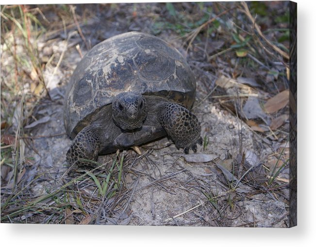 Turtle Acrylic Print featuring the painting Golpher Mom 2 by Debbie May