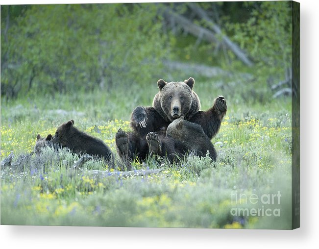 Bears Acrylic Print featuring the photograph Grizzly Romp - Grand Teton by Sandra Bronstein